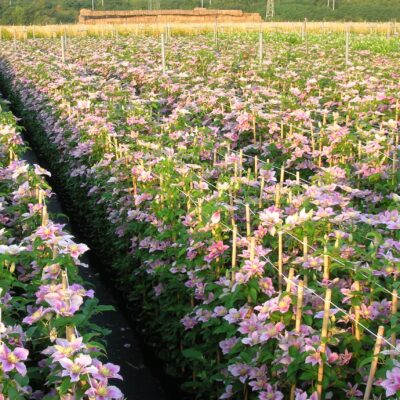 javoy-fleurs-madeinfrance